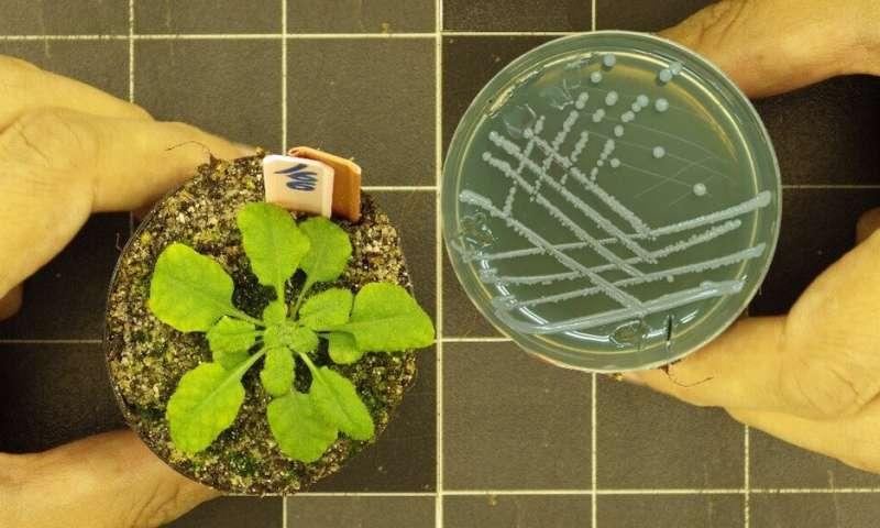 Atajo para producir mejores cultivos no transgénicos