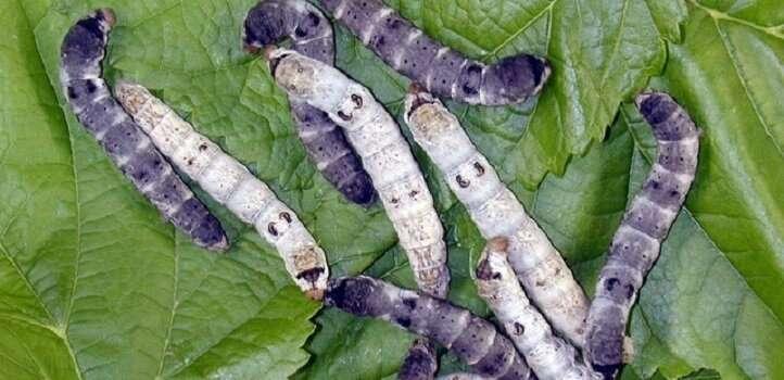 Silkworms provide new spin on sticky molecules