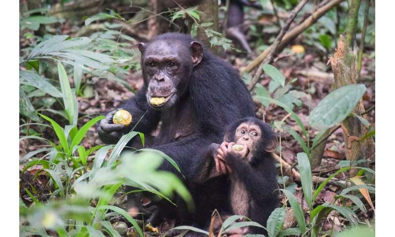 Similar to humans, chimpanzees develop slowly