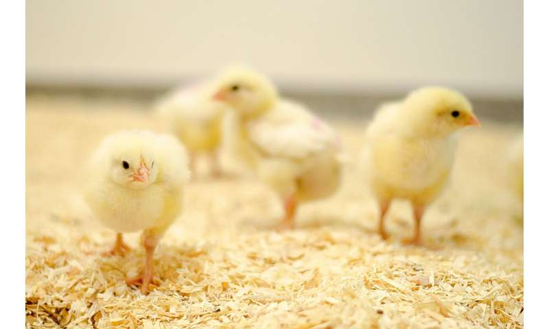 Simple way of 'listening' to chicks could dramatically improve welfare