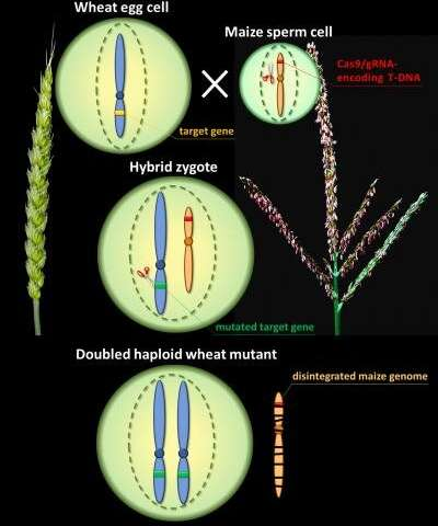 Site-directed mutagenesis in wheat via haploid induction by maize