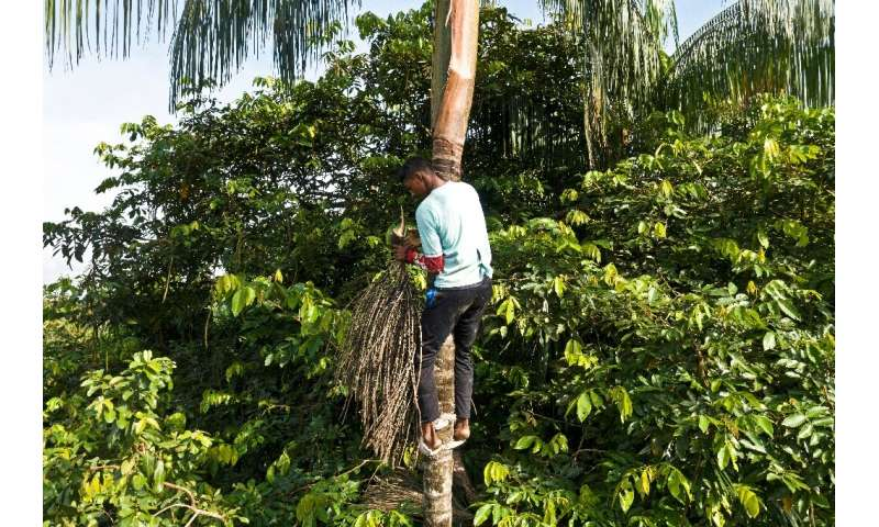 Sixteen-year-old Fabio Gondim, who lives in the community of Bauana, picks acai fruit