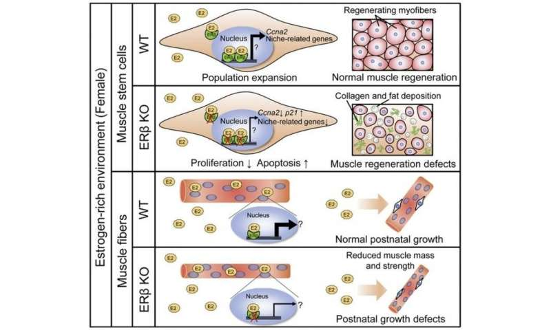 Skeletal muscle development and regeneration mechanisms vary by gender