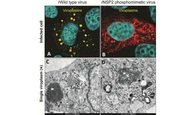 Slow-growing rotavirus mutant reveals early steps of viral assembly