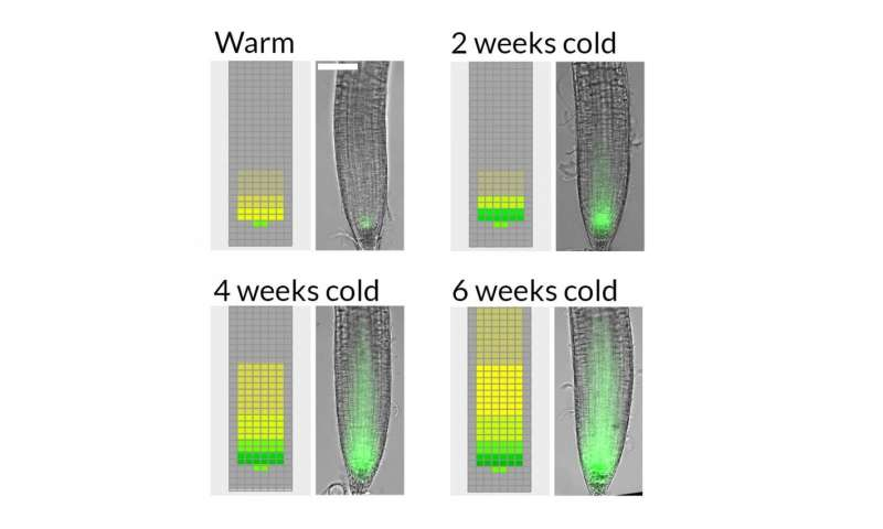 Slow growth the key to long term cold sensing
