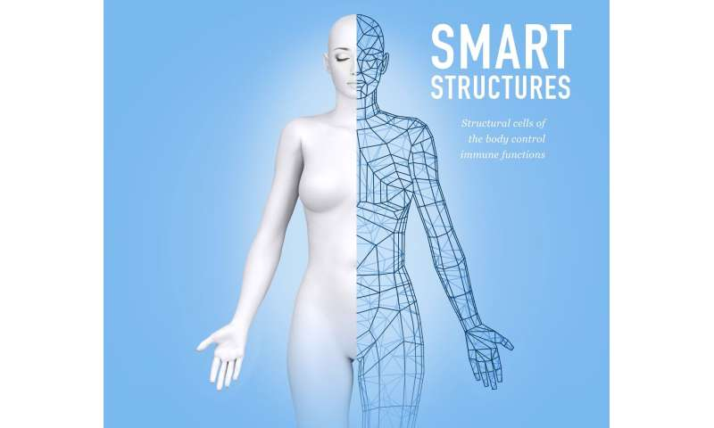 Smart structures: Structural cells of the body control immune function