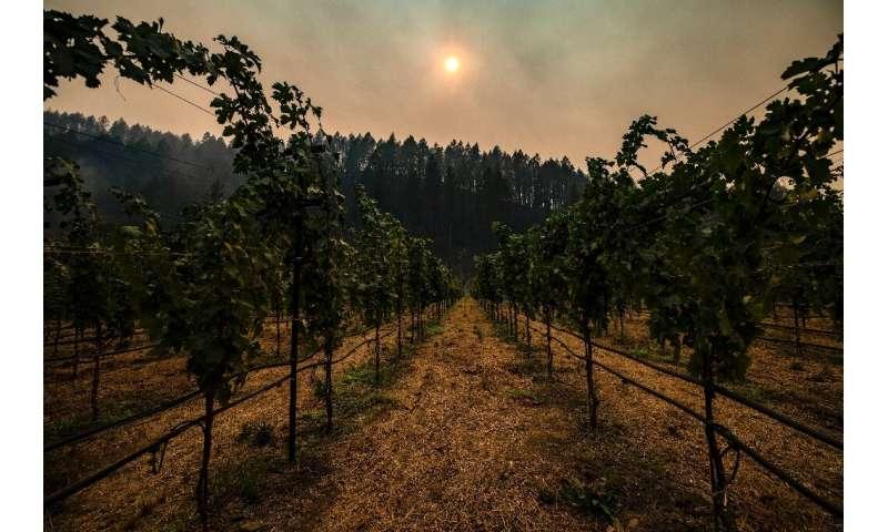Smoke hangs among charred trees on the hillside behind a vineyard in Napa Valley, California