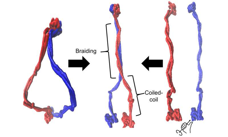 Snake-like proteins can wrangle DNA