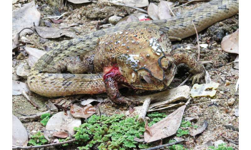 Snakes disembowel and feed on the organs of living toads in a first for science