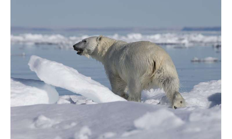 Some polar bears in far north are getting short-term benefit from thinning ice