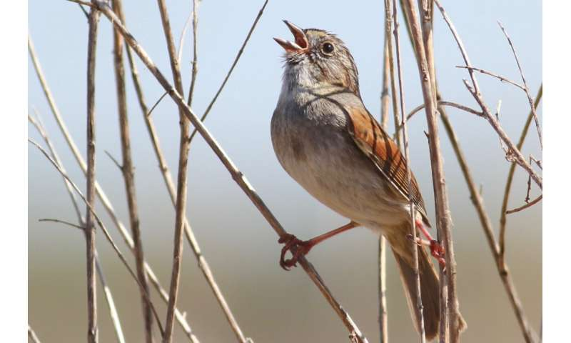 Songbirds, like people, sing better after warming up