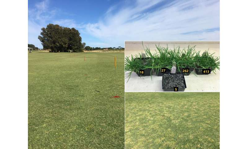 Study documents the challenges of herbicide-resistant annual bluegrass in turf