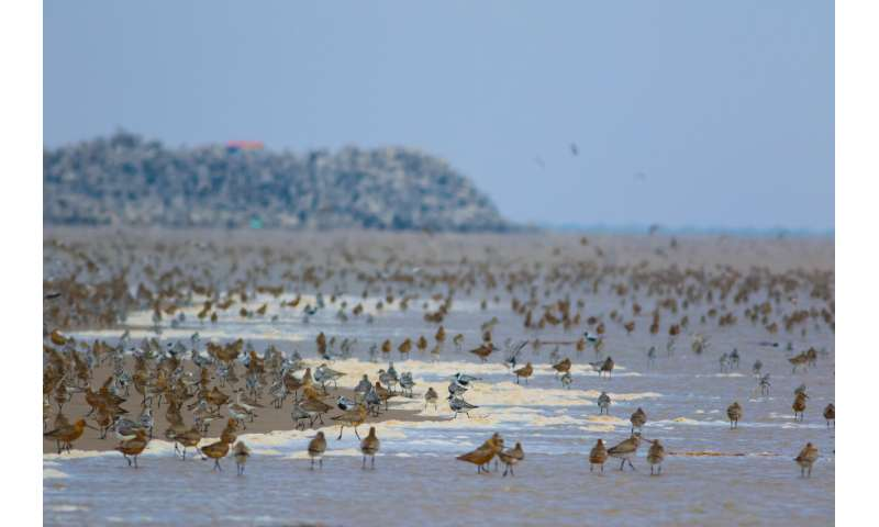 Study on shorebirds suggests that when conserving species, not all land is equal