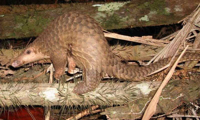 Study shows pangolins may have passed new coronavirus from bats to humans