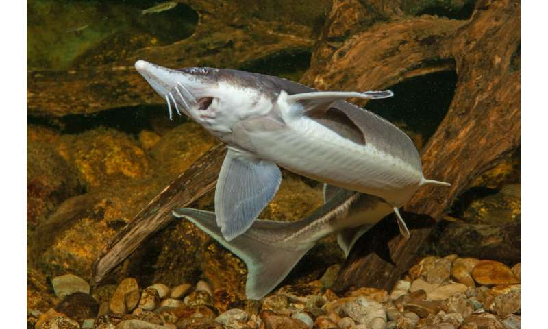 Sturgeon genome sequenced