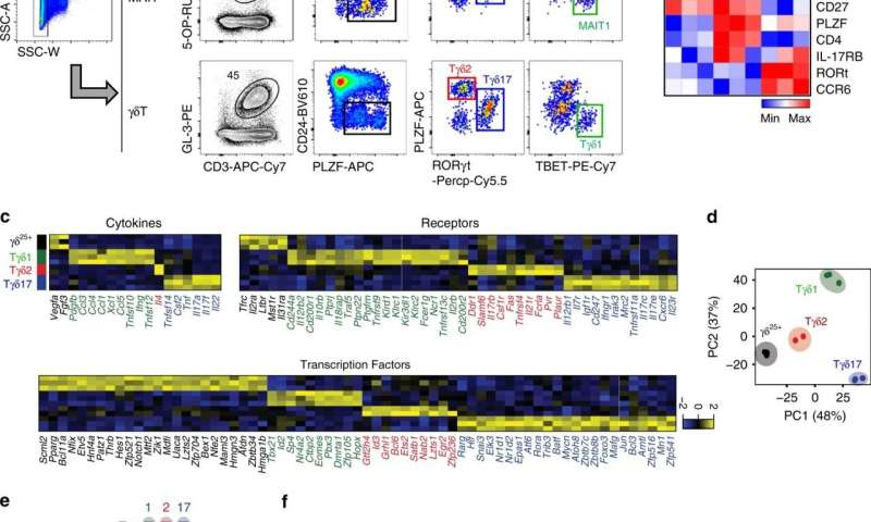 Subtypes and developmental pathways of innate T cells identified