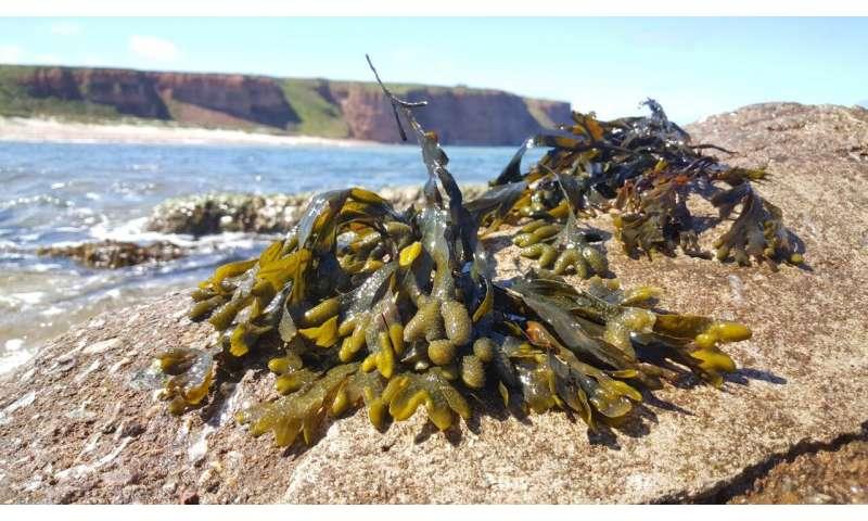 Sugar turns brown algae into good carbon stores
