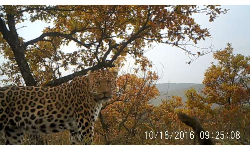 Surprised researchers: Number of leopards in northern China on the rise