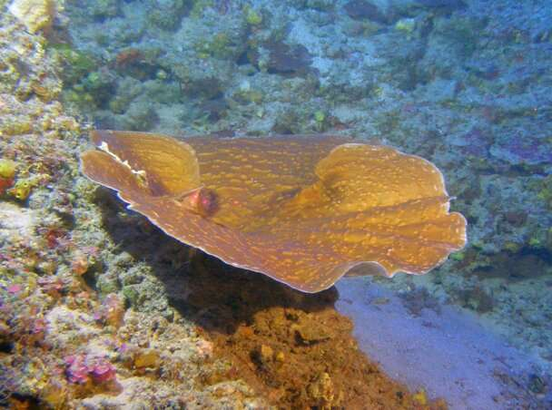Surprising growth rates discovered in world's deepest photosynthetic corals
