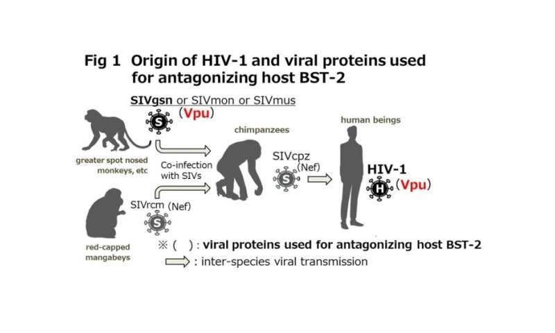 Survival of the fittest: How primate immunodeficiency viruses are evolving