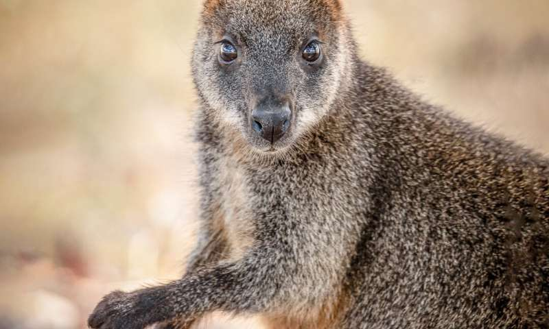 Swamp wallabies conceive new embryo before birth -- a unique reproductive strategy