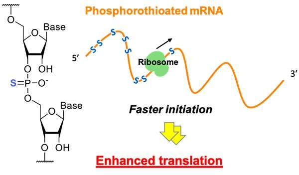 Synthetic mRNAs modified with sulfur atoms boost efficient protein synthesis