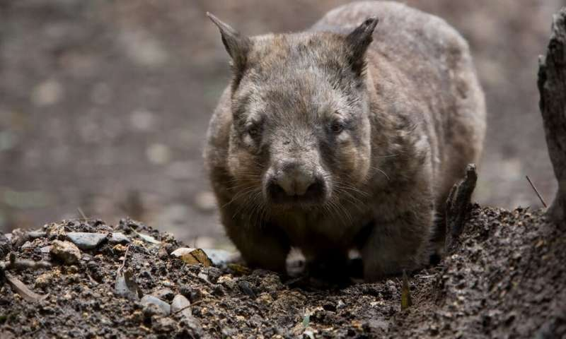 Tales of wombat 'heroes' have gone viral. Unfortunately, they're not true