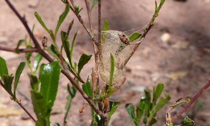 Aprovechando los secretos de la seda única de la araña australiana