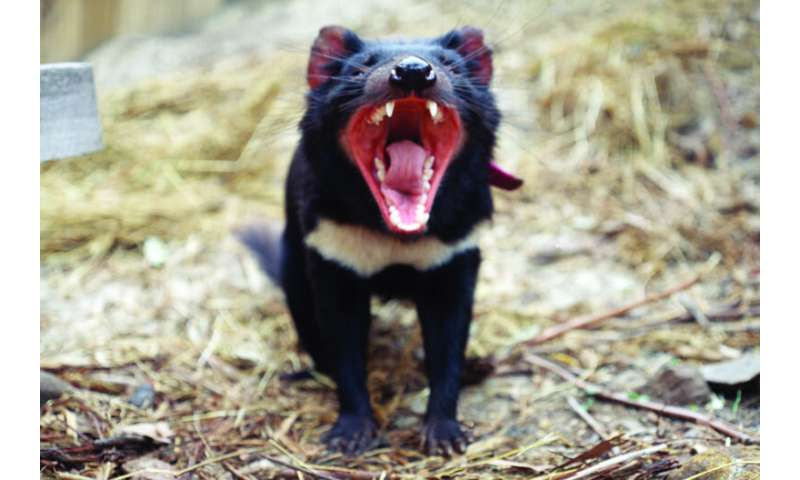 Tasmanian devil research offers new insights for tackling cancer in humans