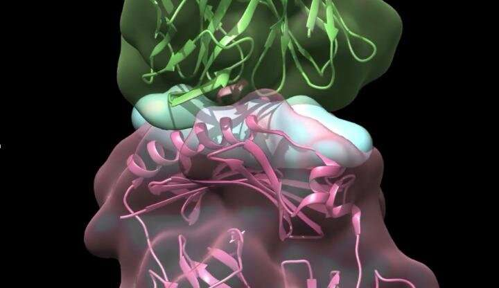 T cells can shift from helping to harming in atherosclerosis