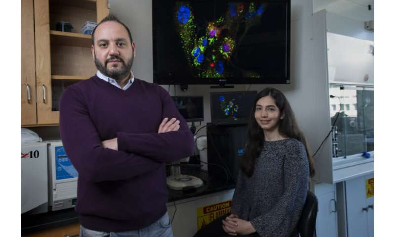 Team demonstrates ability to supercharge cells with mitochondrial transplantation