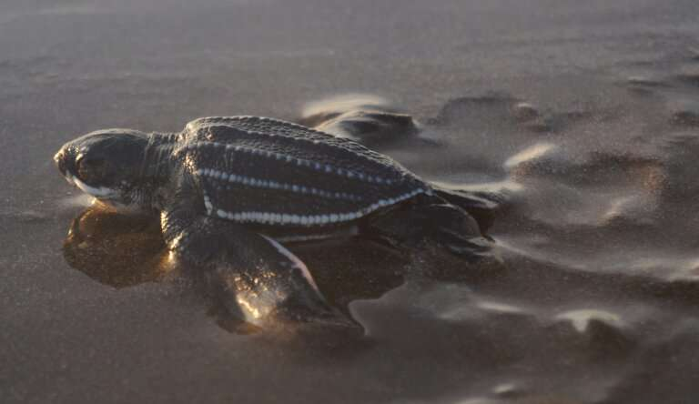 Ten years to save world's most threatened sea turtle population