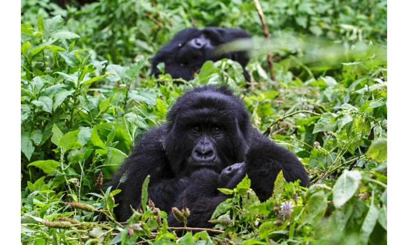 Thanks to conservation efforts and anti-poaching patrols, the population of mountain gorillas has grown to more than 1,000