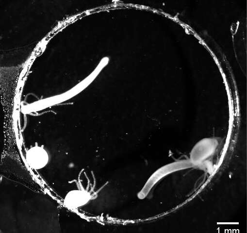 The acrobatic hydra shows off: How environmental cues can affect behavior