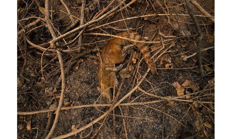 The carcass of a raccoon in a burnt area of the Pantanal wetlands, Mato Grosso State, Brazil in August 2020