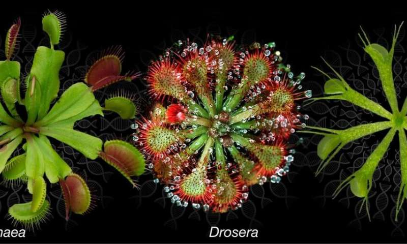 The carnivorous plant lifestyle is gene costly