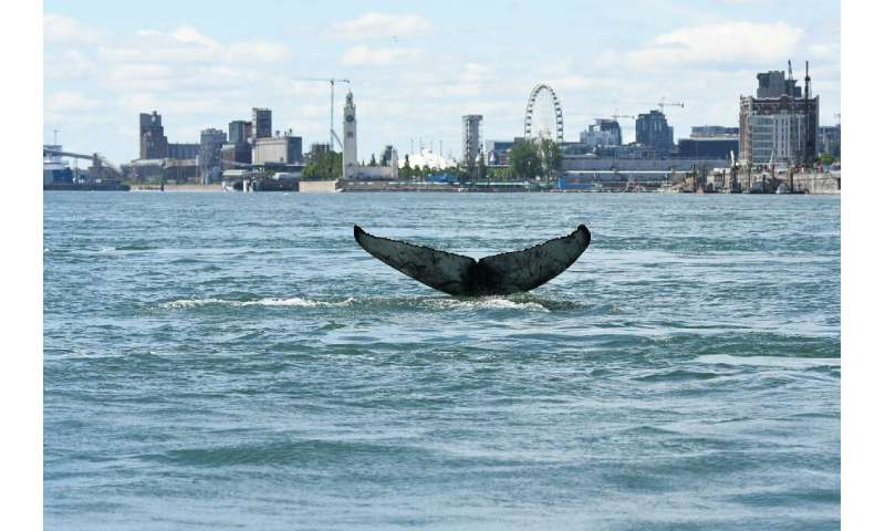 The giant creature had been seen last week swimming in the Saint Lawrence river, against the backdrop of the Montreal skyline