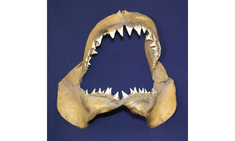 The Great White Shark and the Mediterranean: a 3.2 mln years long history