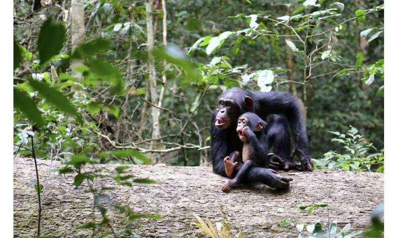 The growing pains of orphan chimpanzees