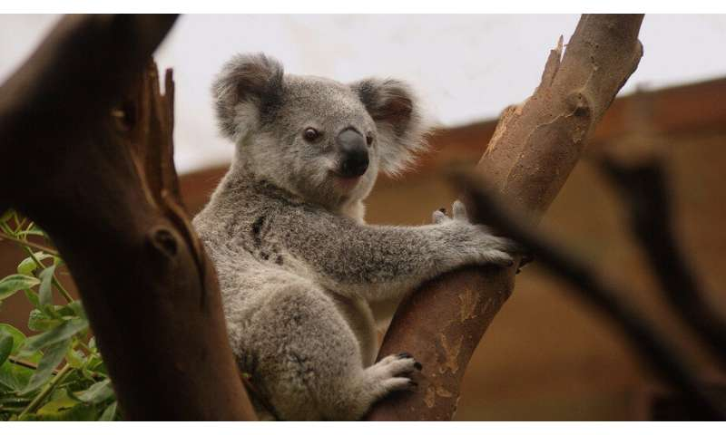 The heat is on for Australia's beloved marsupials»