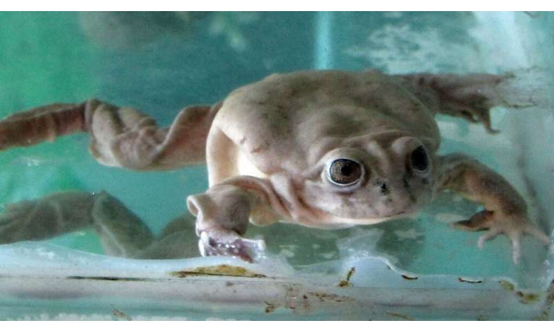 The Lake Titicaca water frog is the world's largest aquatic amphibian, growing up to six inches long (145 millimeters)