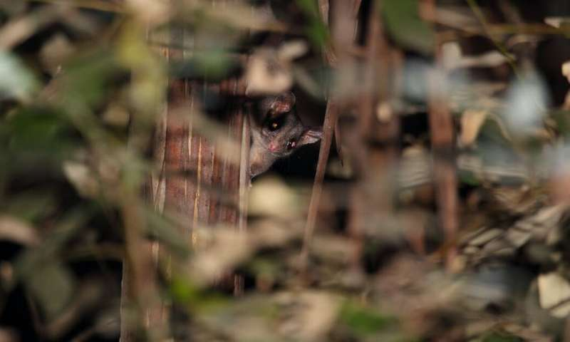 The Leadbeater's possum finally had its day in court. It may change the future of logging in Australia