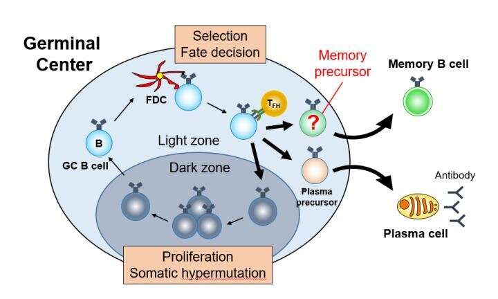 The making of memory B cells and long-term immune responses