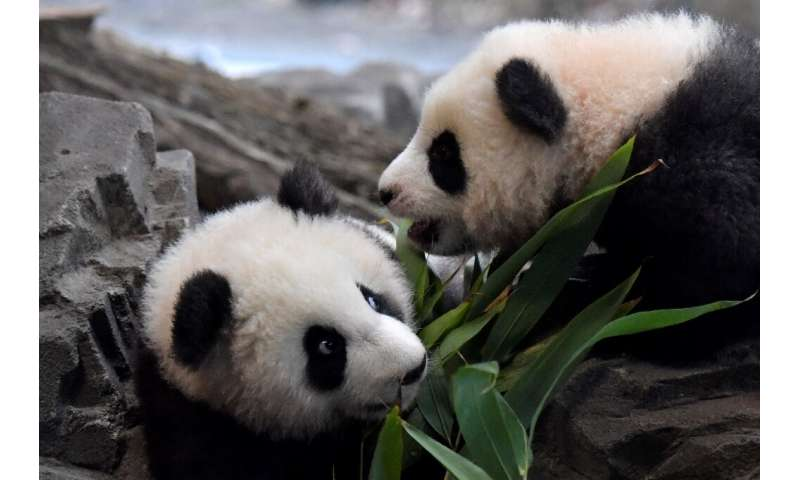 "The male panda cubs are five months old and their names mean ""long-awaited dream"" and ""dream come true"""