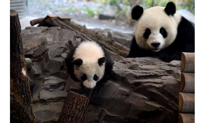 The mother Meng Meng was brought to Berlin in 2017 along with Jiao Qing, who is the proud father