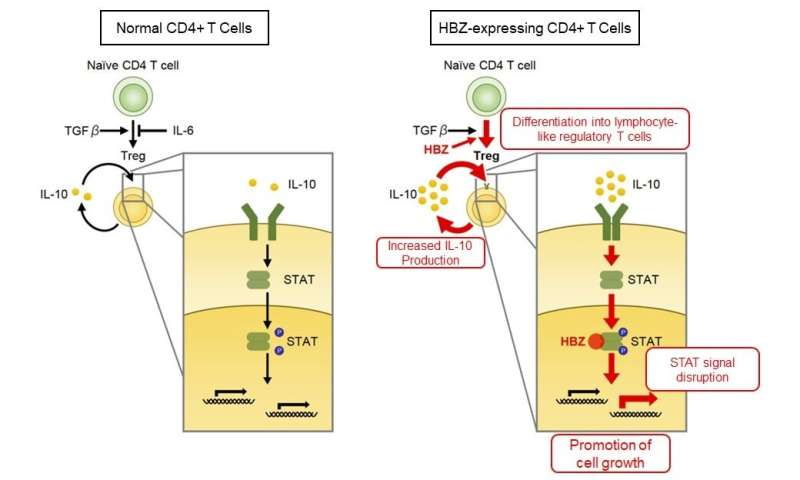 The novel mechanisms for inflammation and cancer induced by HTLV-1