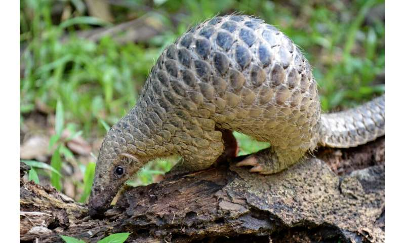 The pangolin, the most trafficked mammal on Earth, is prized for its meat and its unique scales, which are said to have medicina