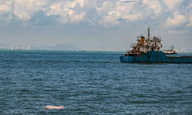 The rare pink dolphins are returning to the waters between Hong Kong and Macau after the coronavirus pandemic halted ferries