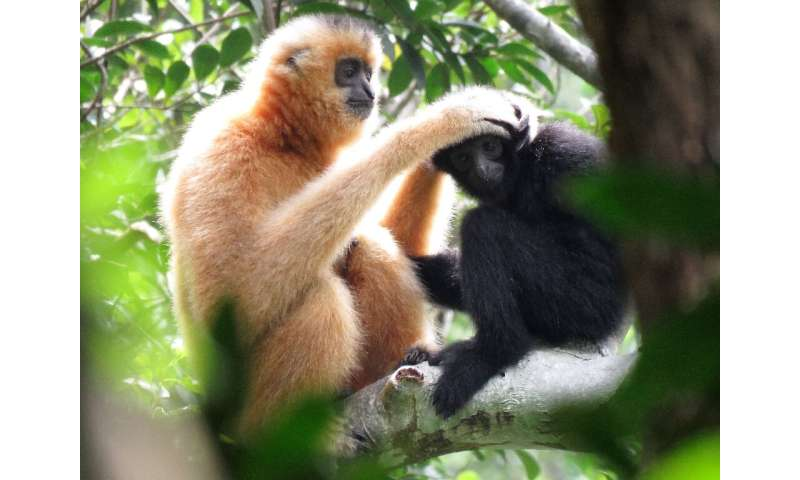 "There are 20 identified gibbon species across Asia. Most are either ""endangered"" or ""critically endangered"""