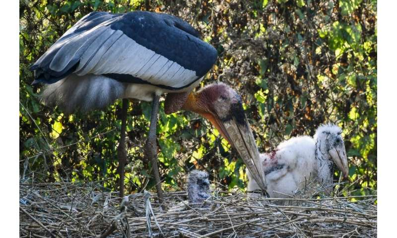 There are believed to be less than 1,000 Greater Adjutant storks left in the wild